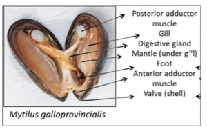 Specific mussel anatomy